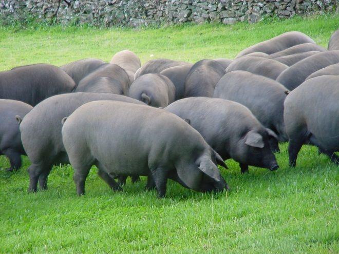 cerdos domesticos