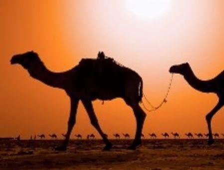camellos israel