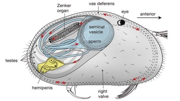 sistema reproductor ostracodo