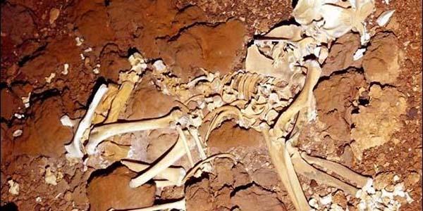 Fósil de canguro gigante hallado en Australia. Créidito: Universidad de Adelaida.