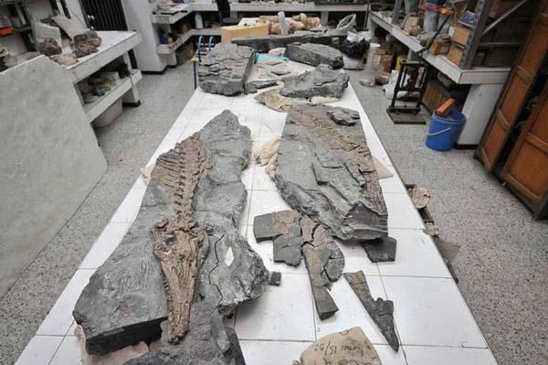 Esqueleto de Eontator Coellensis