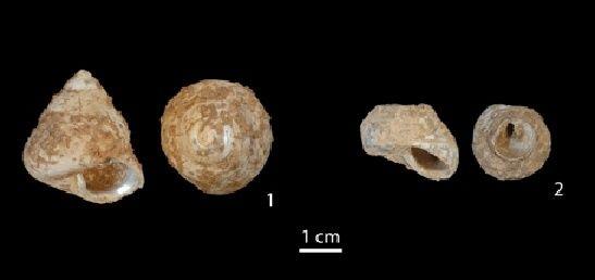 Los moluscos phorcur turbinatus han determinado que el hombre moderno llegó a Europa a través de Oriente Medio.