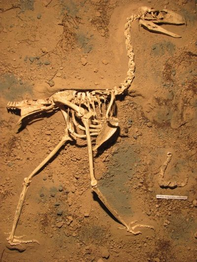 Fósil de Llallawavis scagliai.