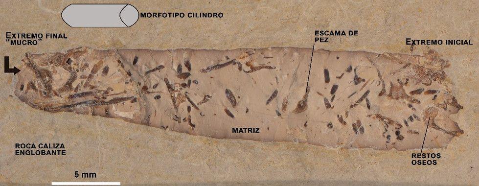 Coprolito cilíndrico de Las Hoyas