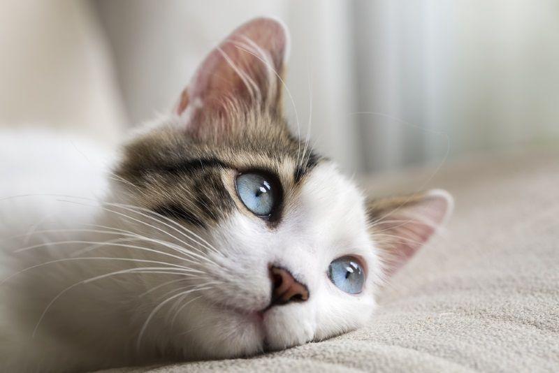 cuando se domesticaron los gatos