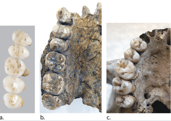 comparacion dentaduras homo prehistoricos
