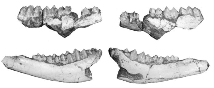 Hispanomeryx lacetanus