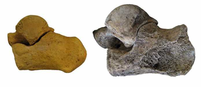describir generos fosiles humanos