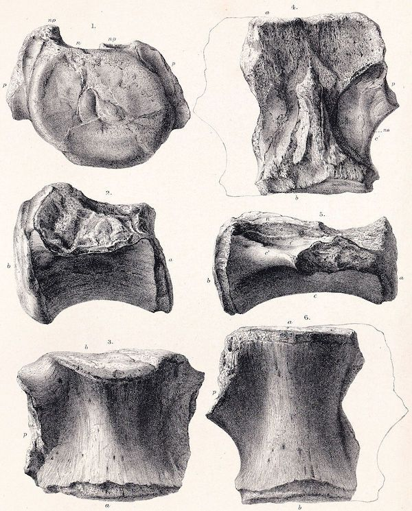 vertebras Bothriospondylus