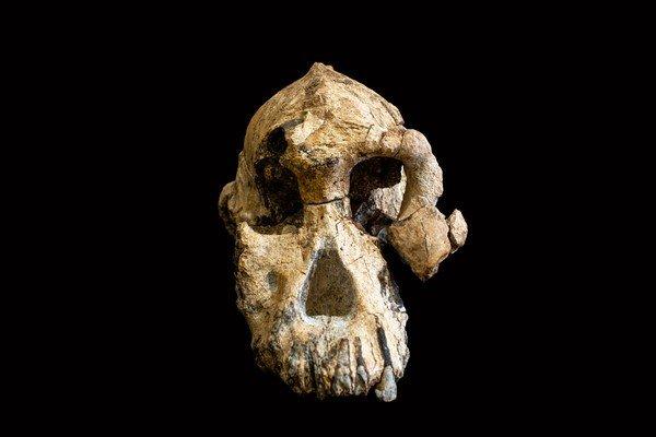 craneo de Australopithecus anamensis