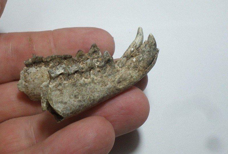 mandibula marsupial carnivoro