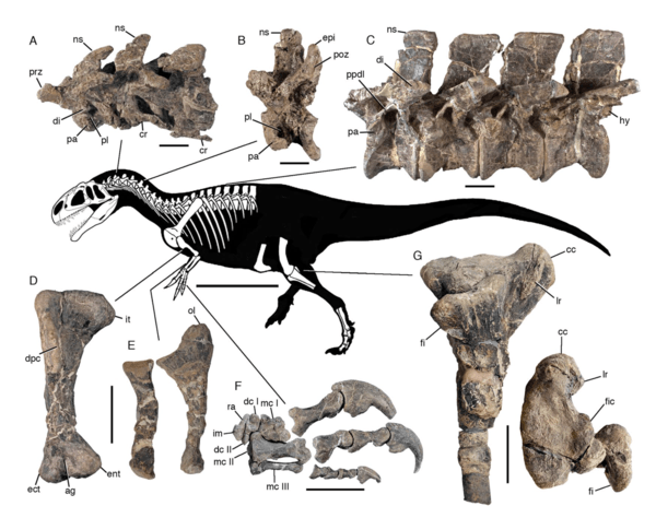 Esqueleto del dinosaurio Asfaltovenator vialidadi