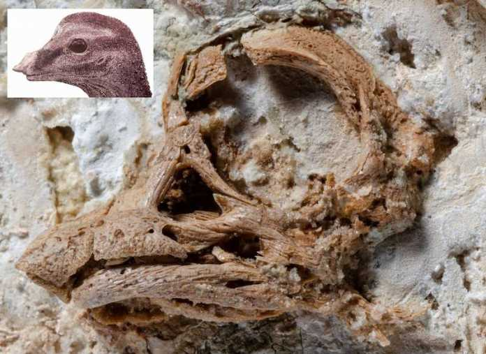 craneo embrion titanosaurus dinosaurio