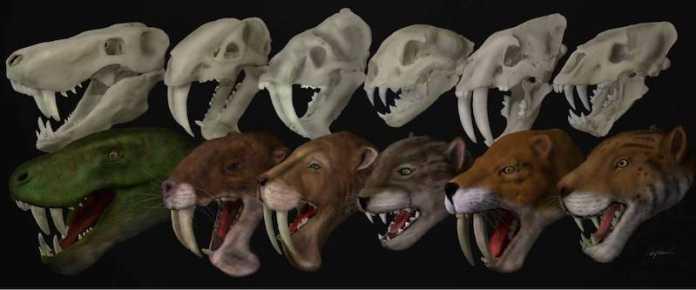 craneos y reconstrucciones tigre dientes de sable