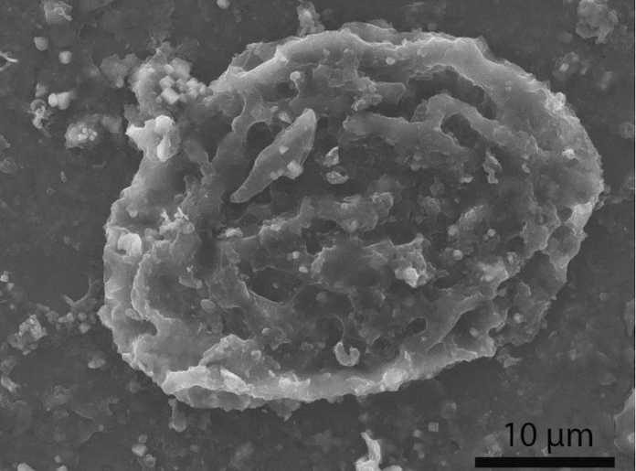 coprolito cuenca huevo parasito