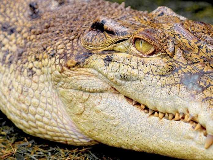 la evolucion de los cocodrilos es mas lenta
