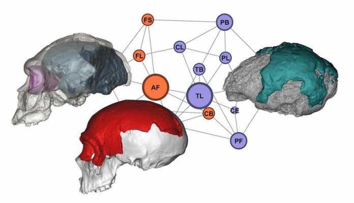 evolucion del cerebro
