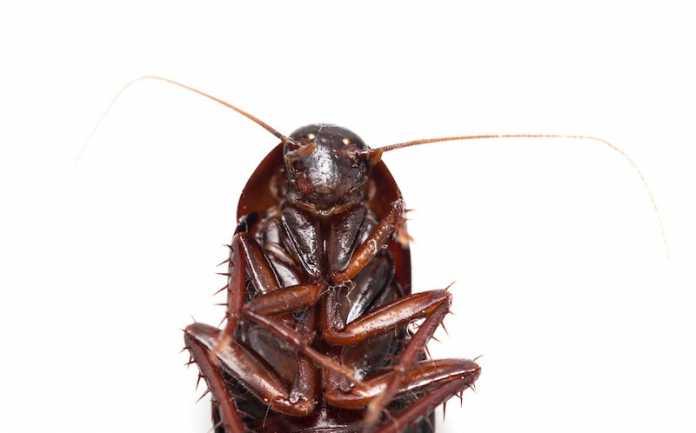 caracteristicas e historia cucarachas