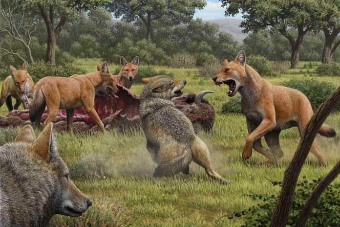lobo prehistorico y lobo gris