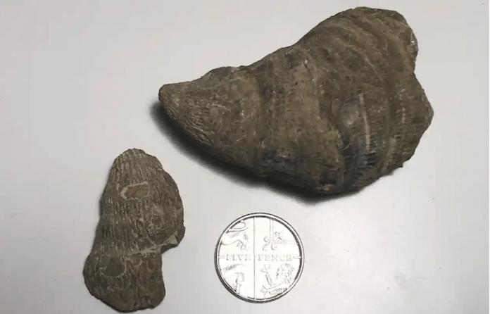 fosil coral rugoso