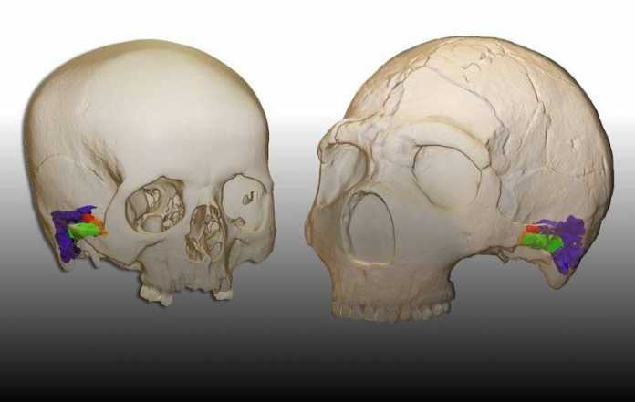oido neandertal