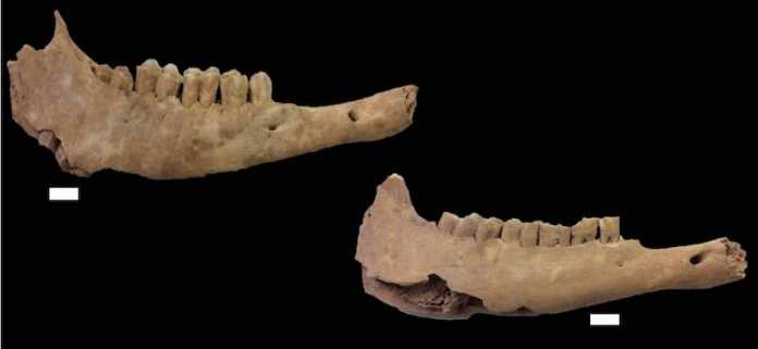 mandibulas oveja neolitico