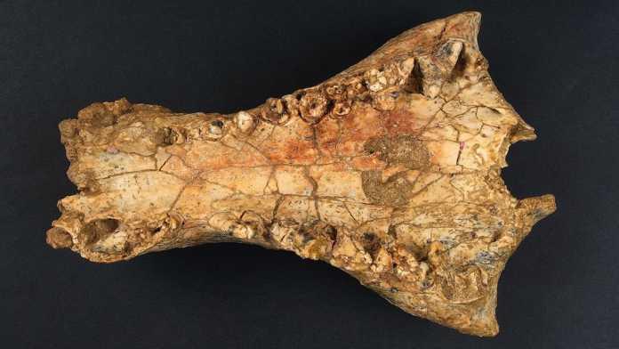 descubren nuevo cocodrilo australia