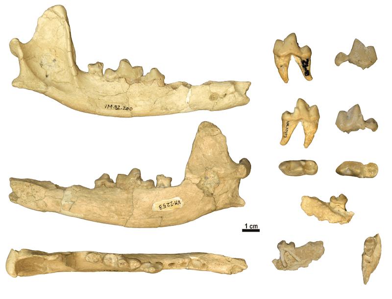 Restos fósiles de la mandíbula del lobo