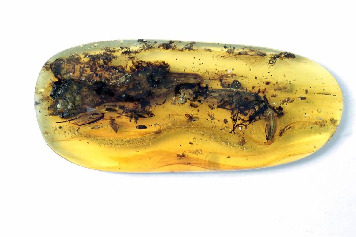 fósil de Oculudentavis