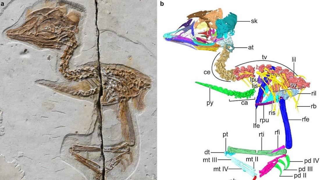 fosil de enantiornita