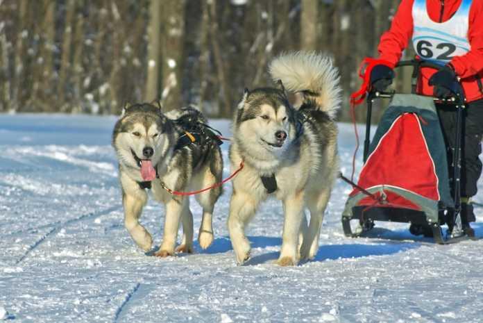 perros alaska trineo